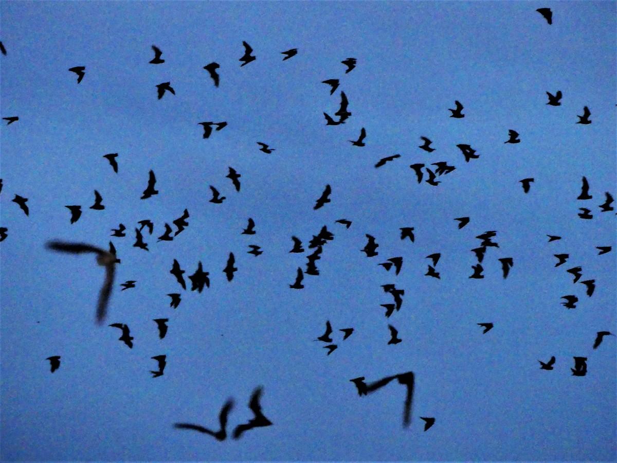 Bat silhouette.jpg