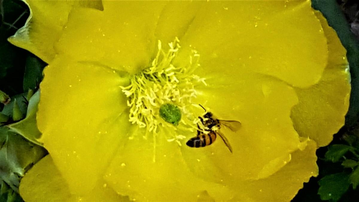 cactus bee.jpg