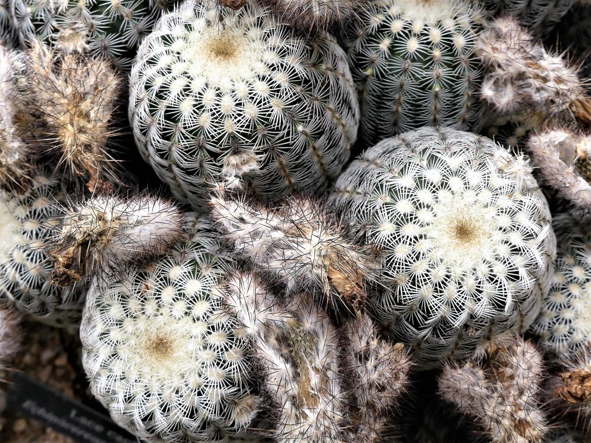 lace cactus.jpg