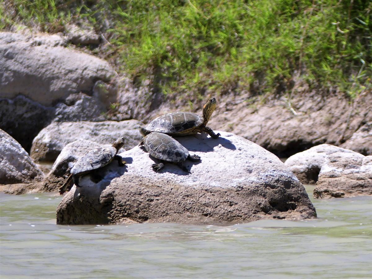 Basking turtles