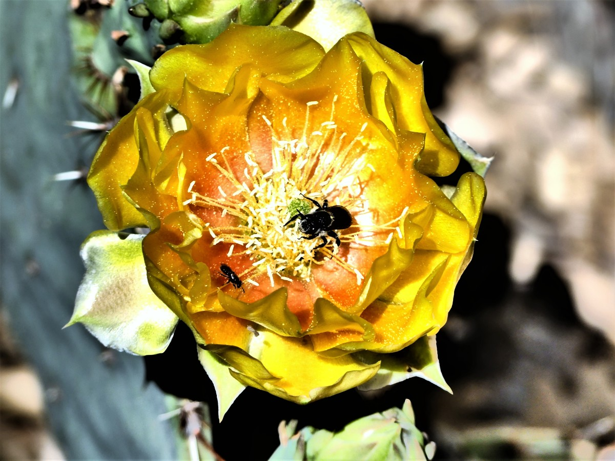 prickley pear blossom