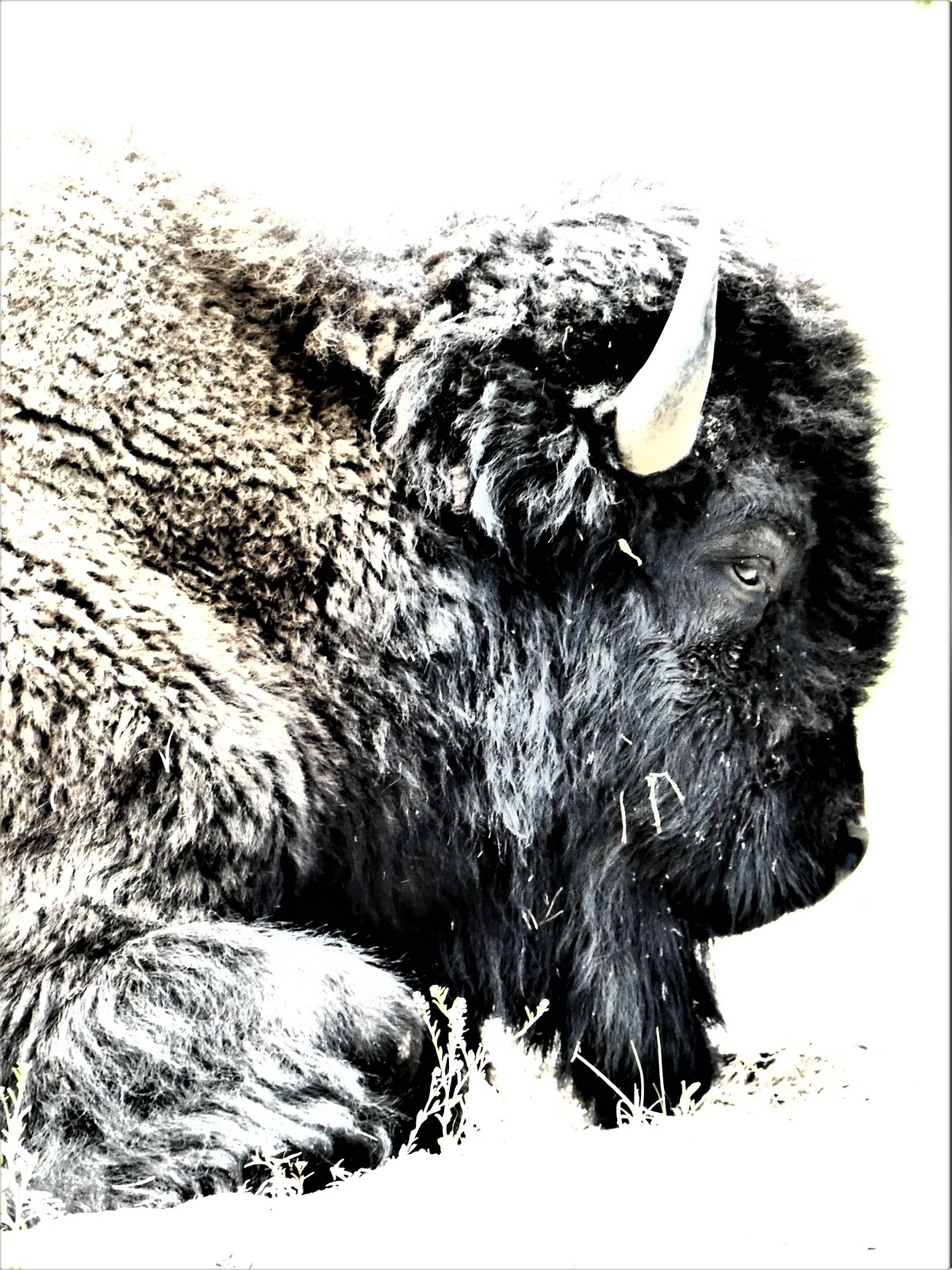 Bison profile1
