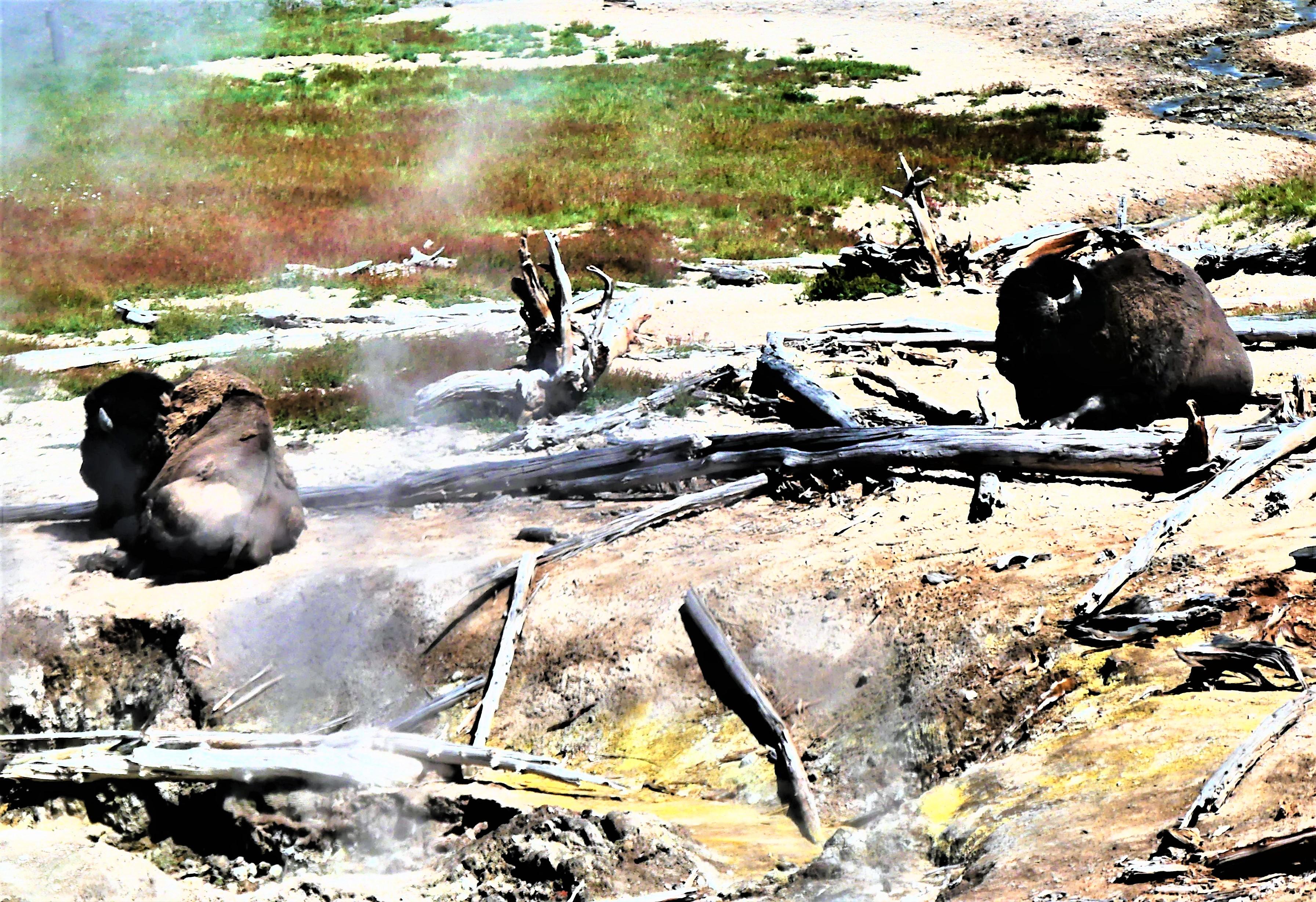 buffalo mudders