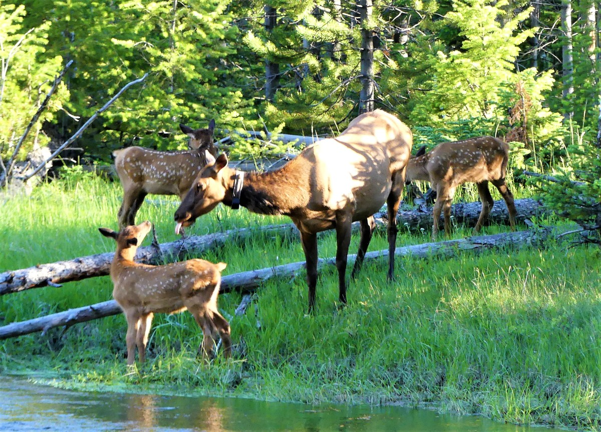 Elk and fawns