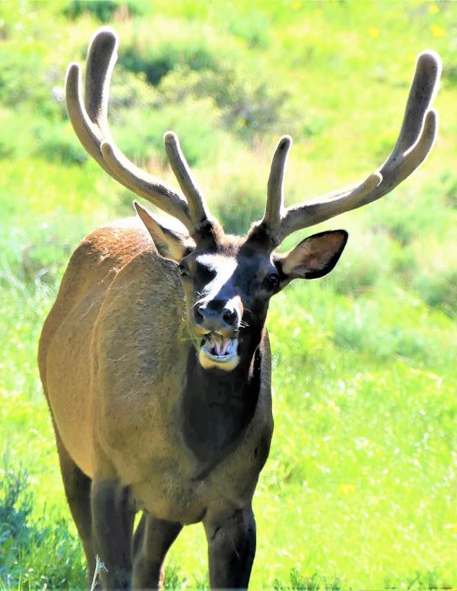 elk portrait (3)