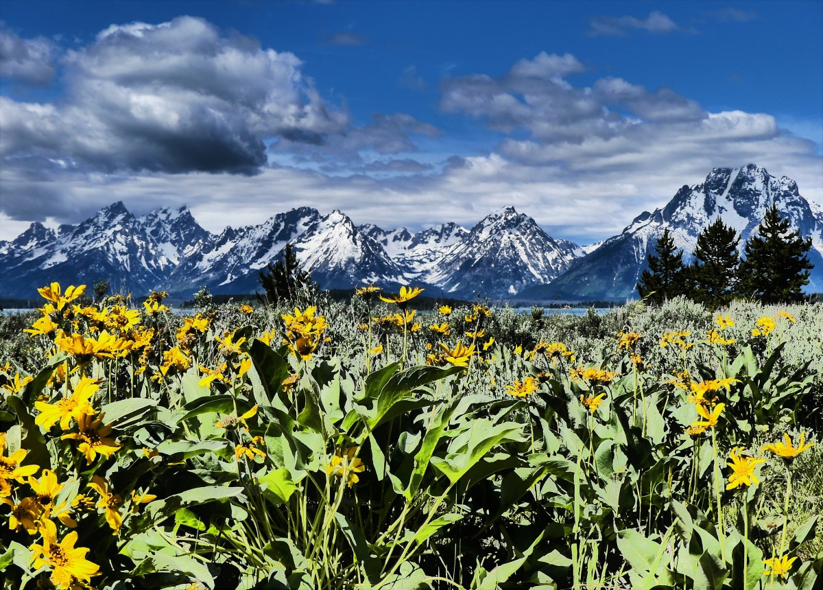 Flowers and Tetons