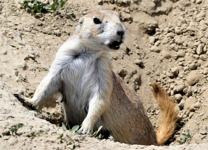 prairie dog town look-out