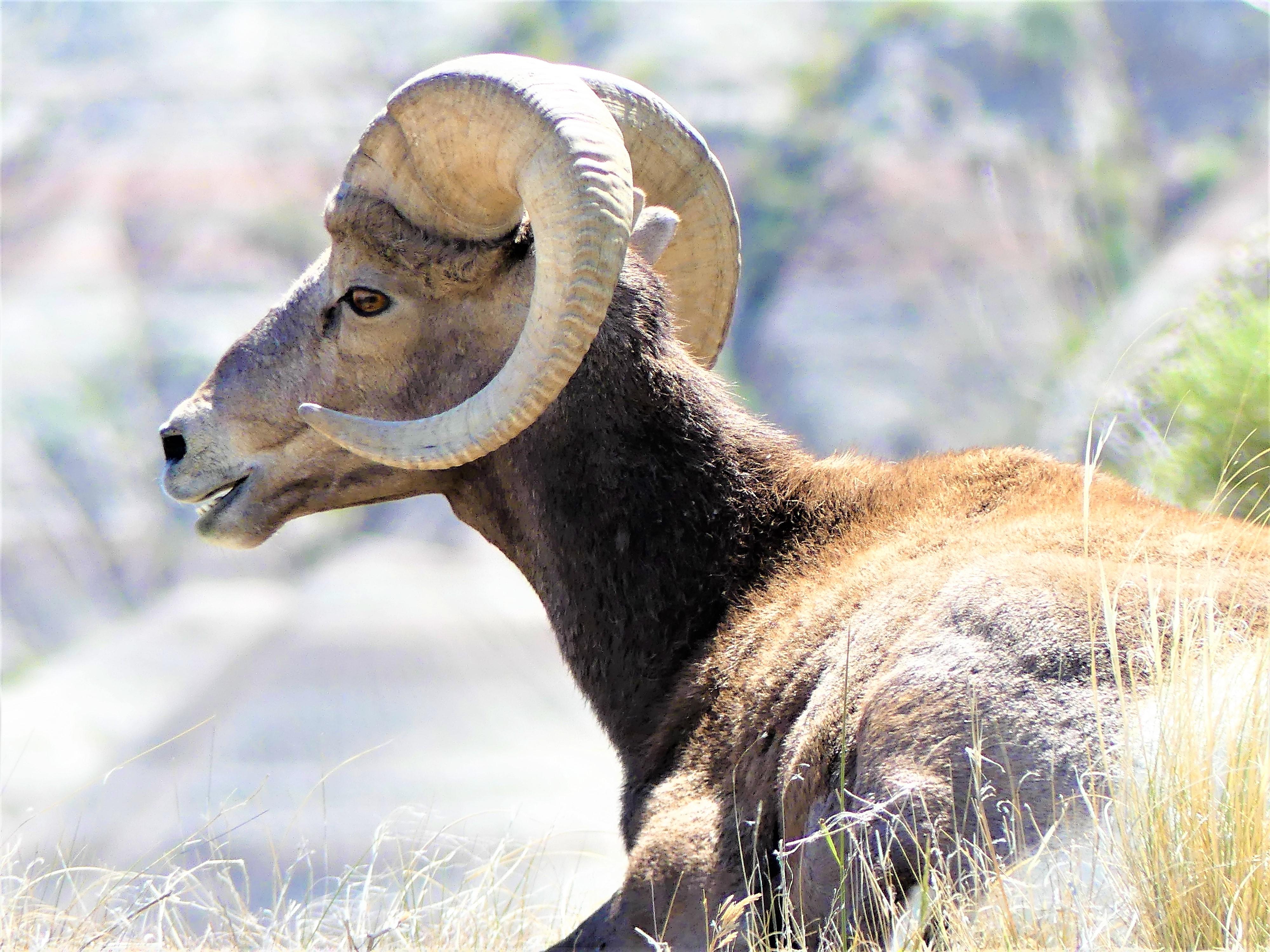 bighorn profile