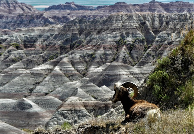 bighorn sheep look out