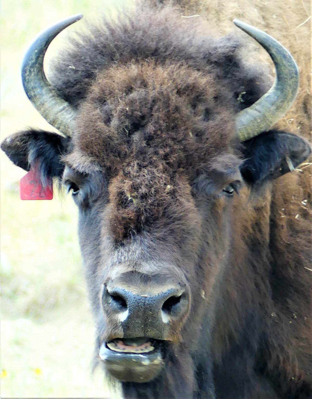 bison cud