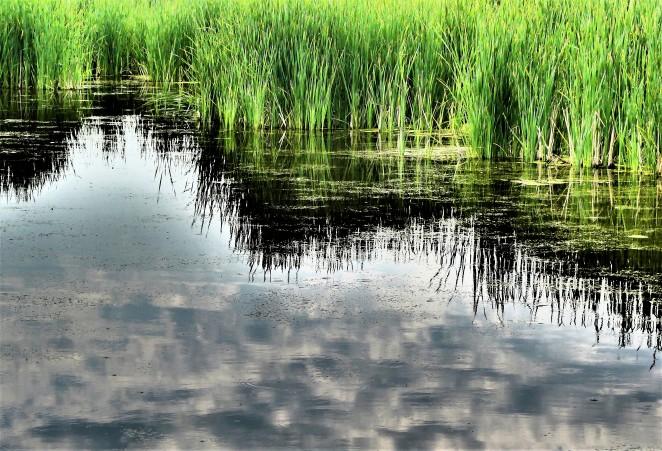Marsh grass relection