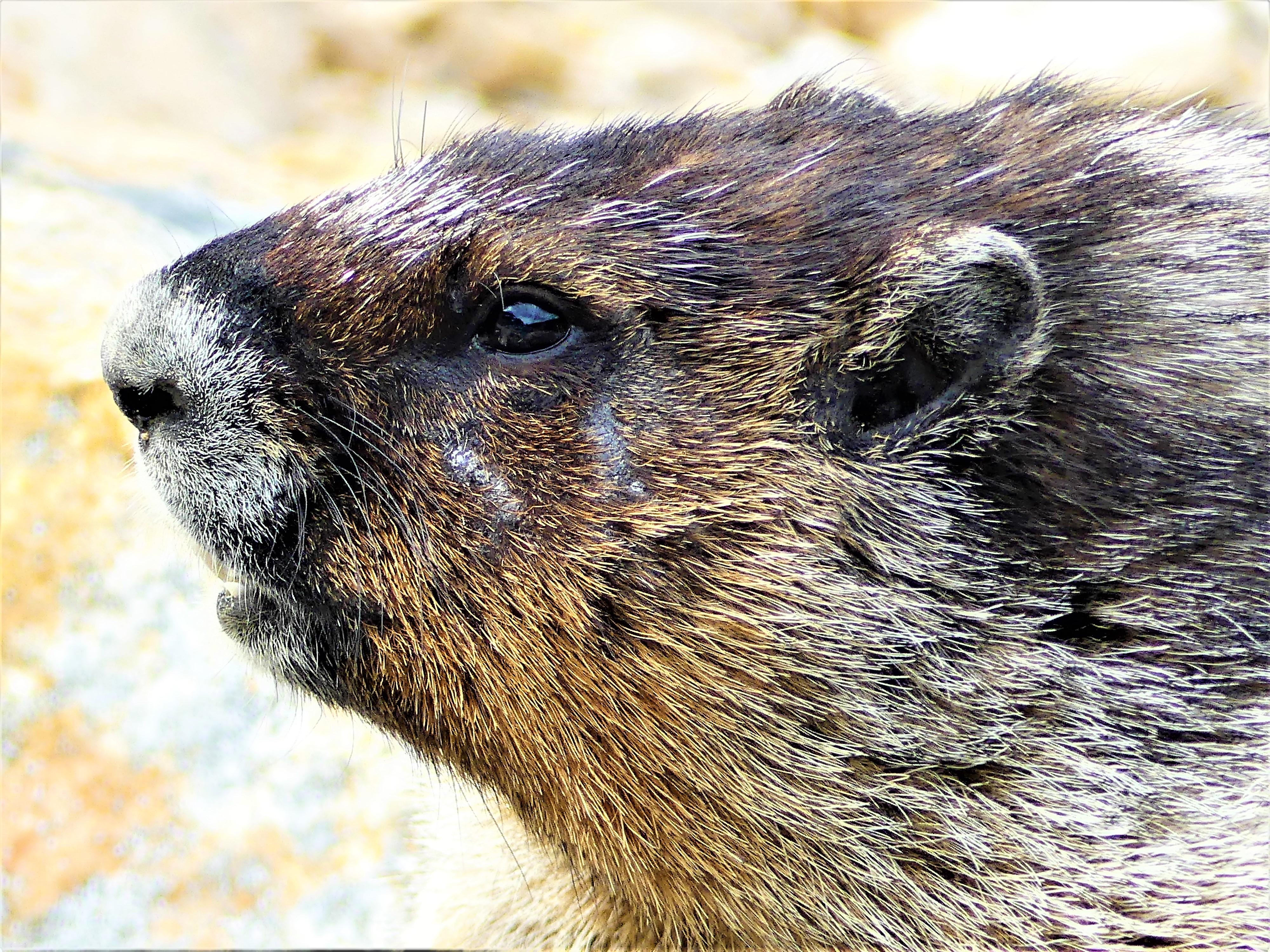 marmot CU.jpg