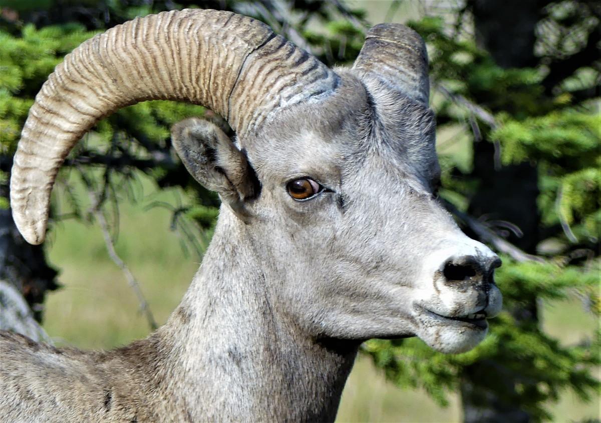 one-eyed sheep
