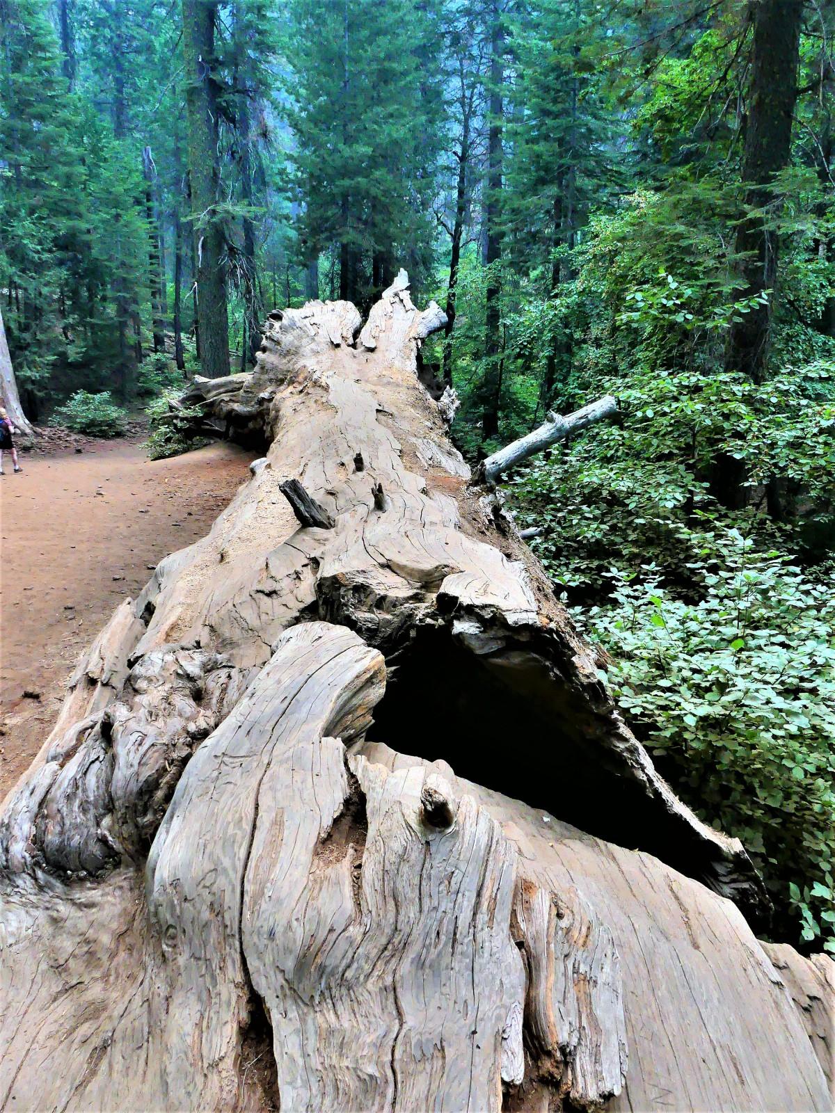fallen tree1