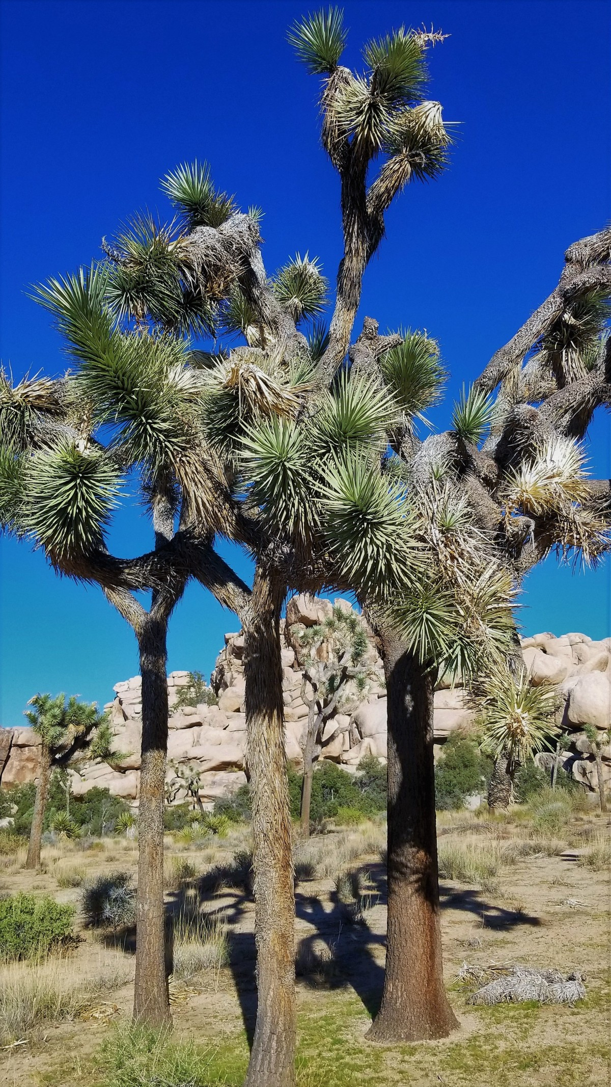 Joshua tree frame (2)