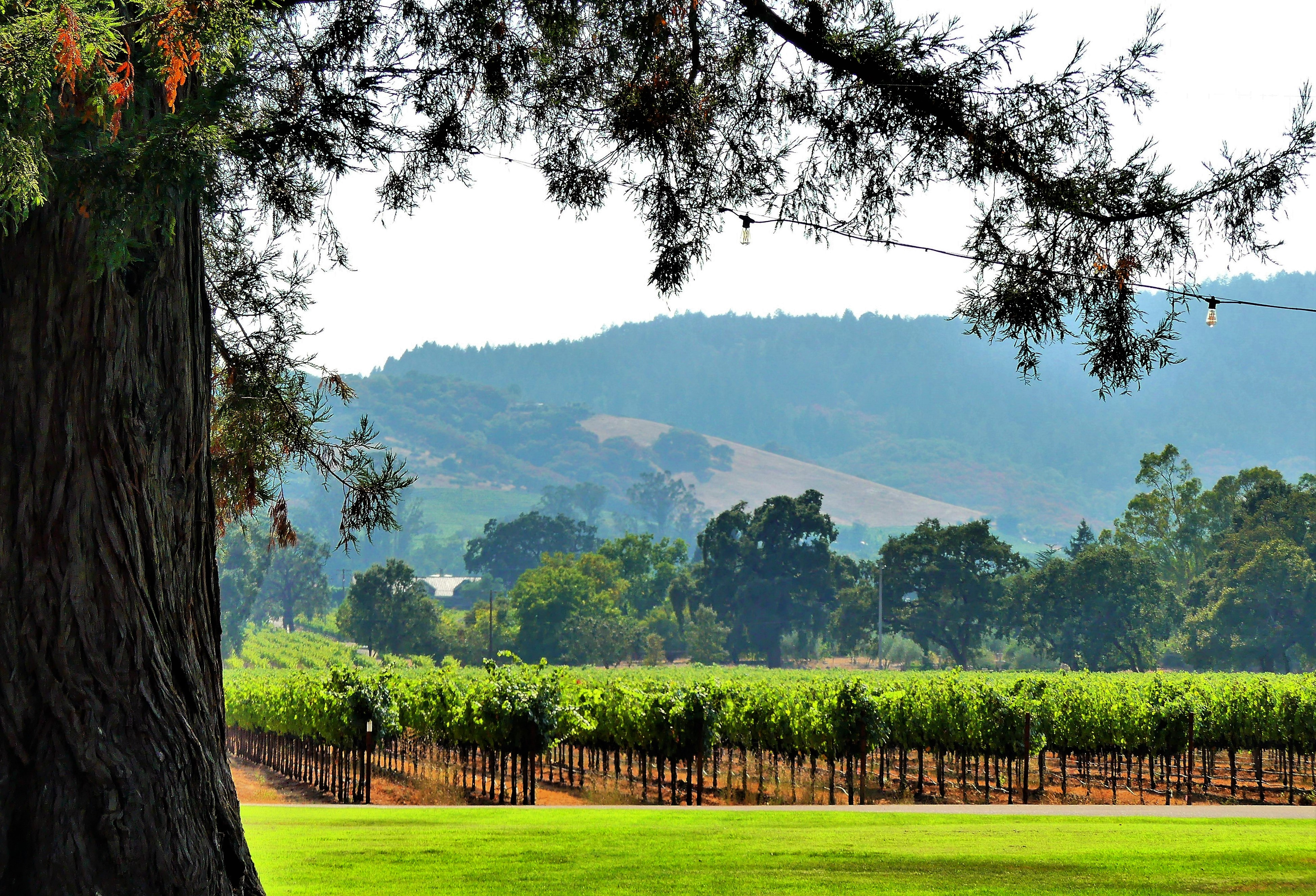 rows of vines (2)