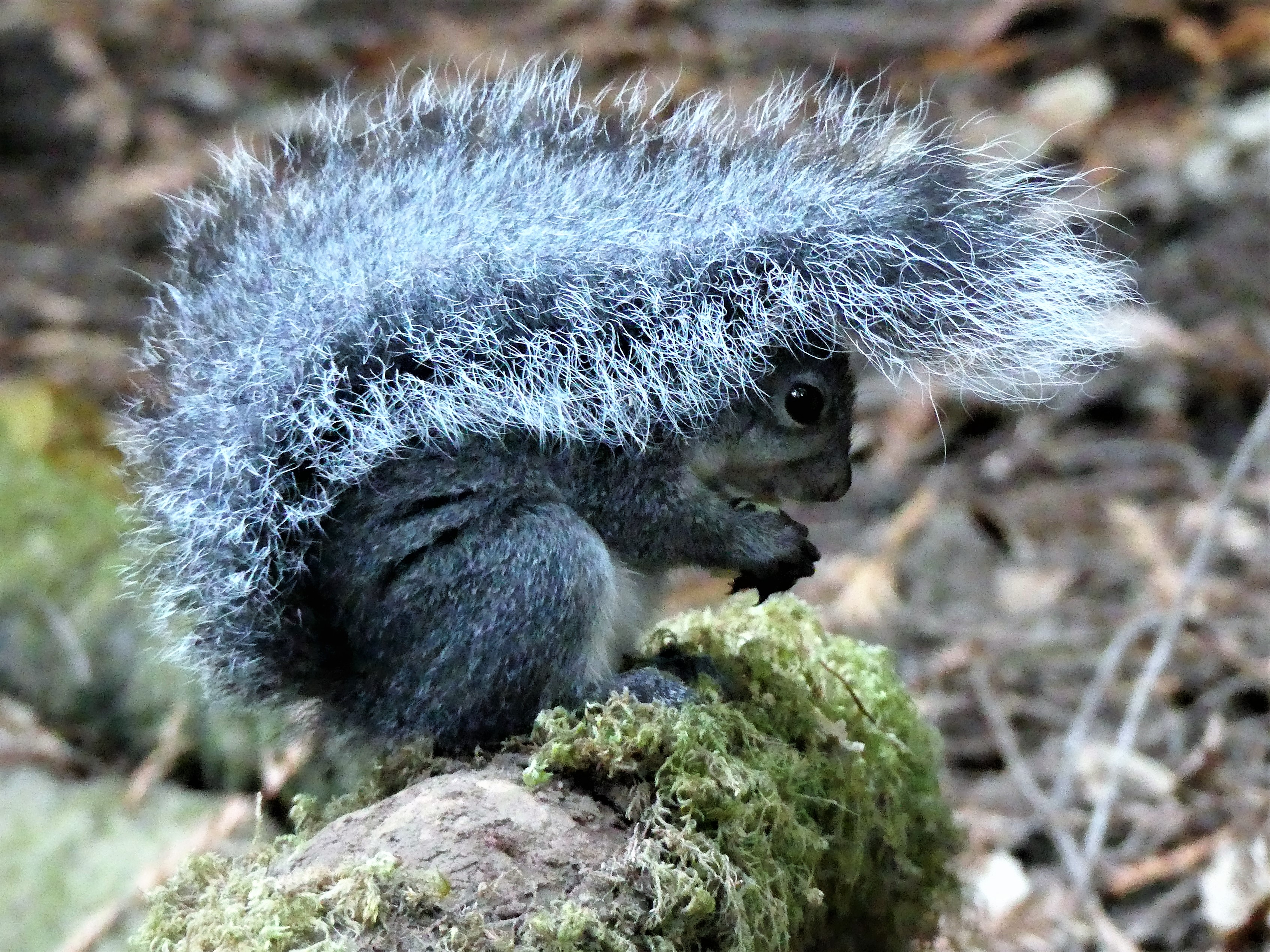 squirel tail