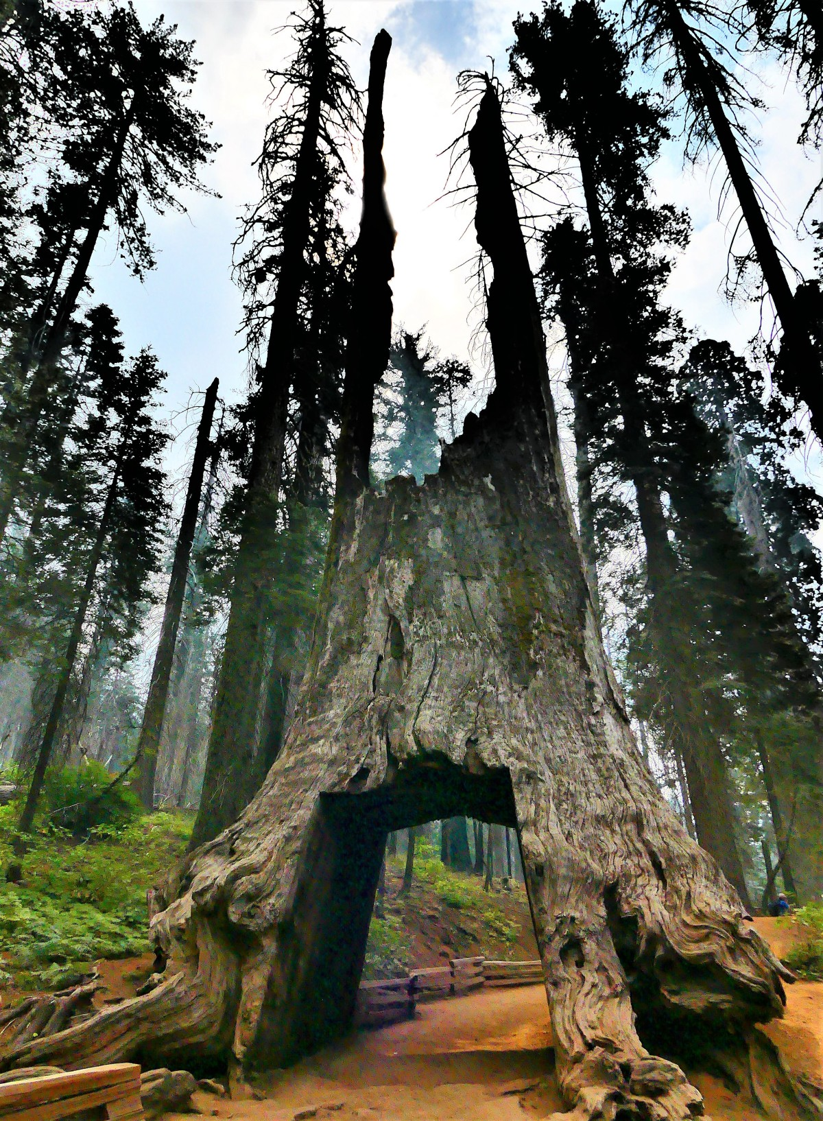 tunnel tree (2)