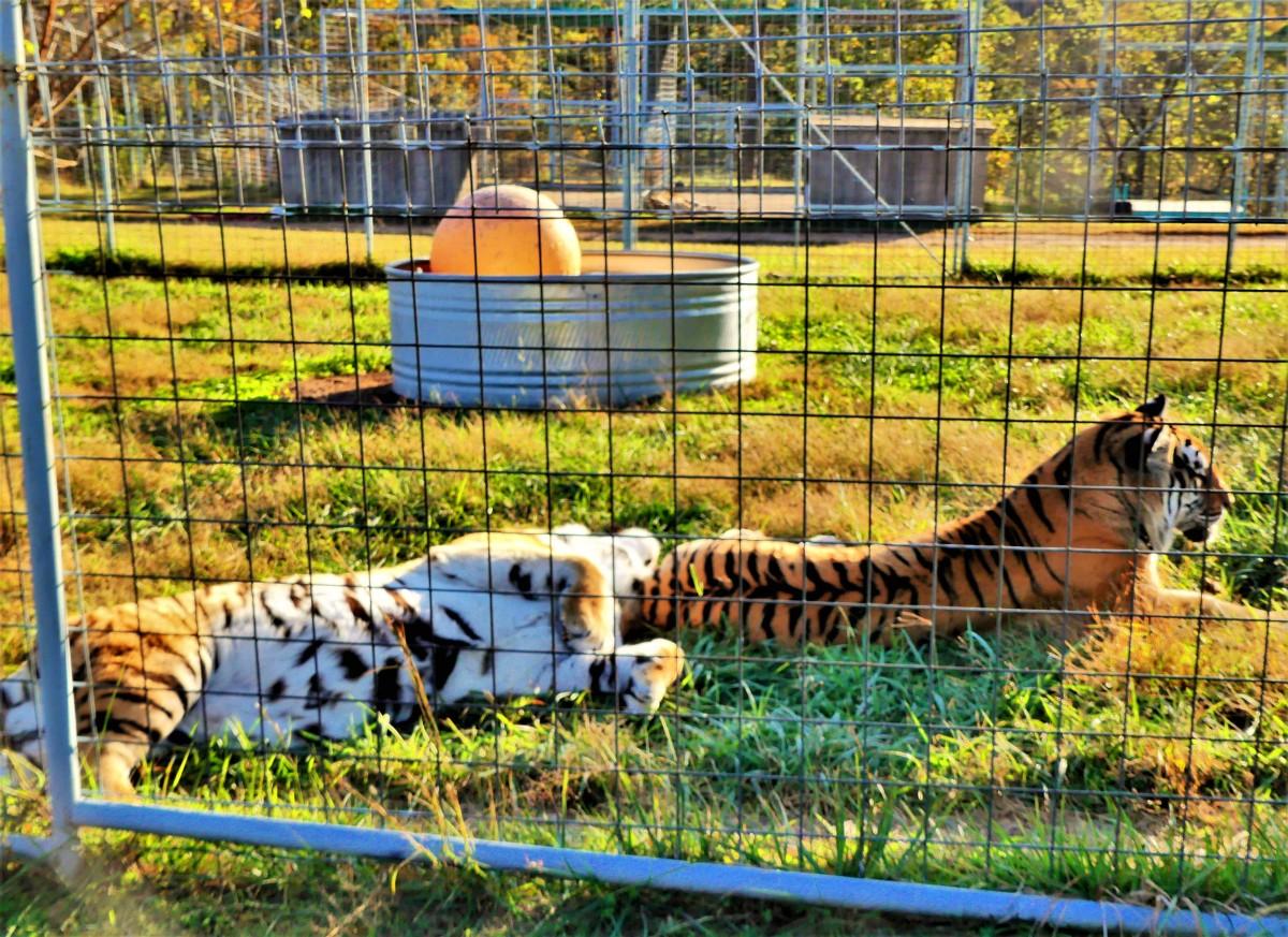 2 tiger habitat