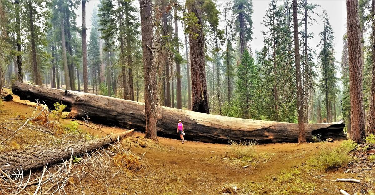 fallen tree (2)
