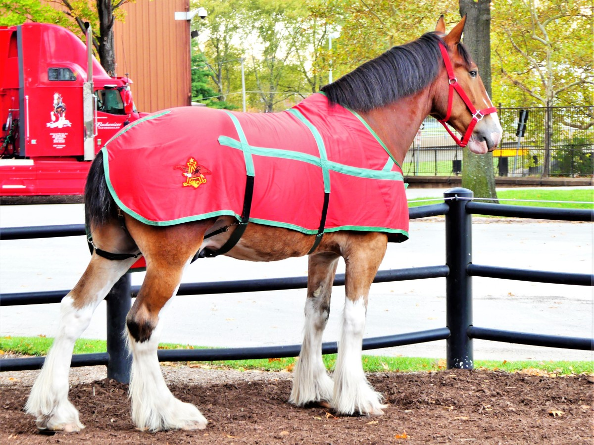 Clydesdale posing