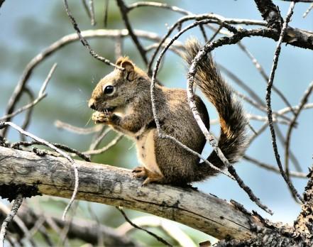 Banff squirrel1