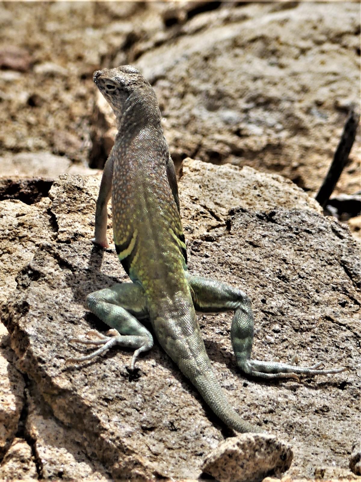 Big Bend lizard