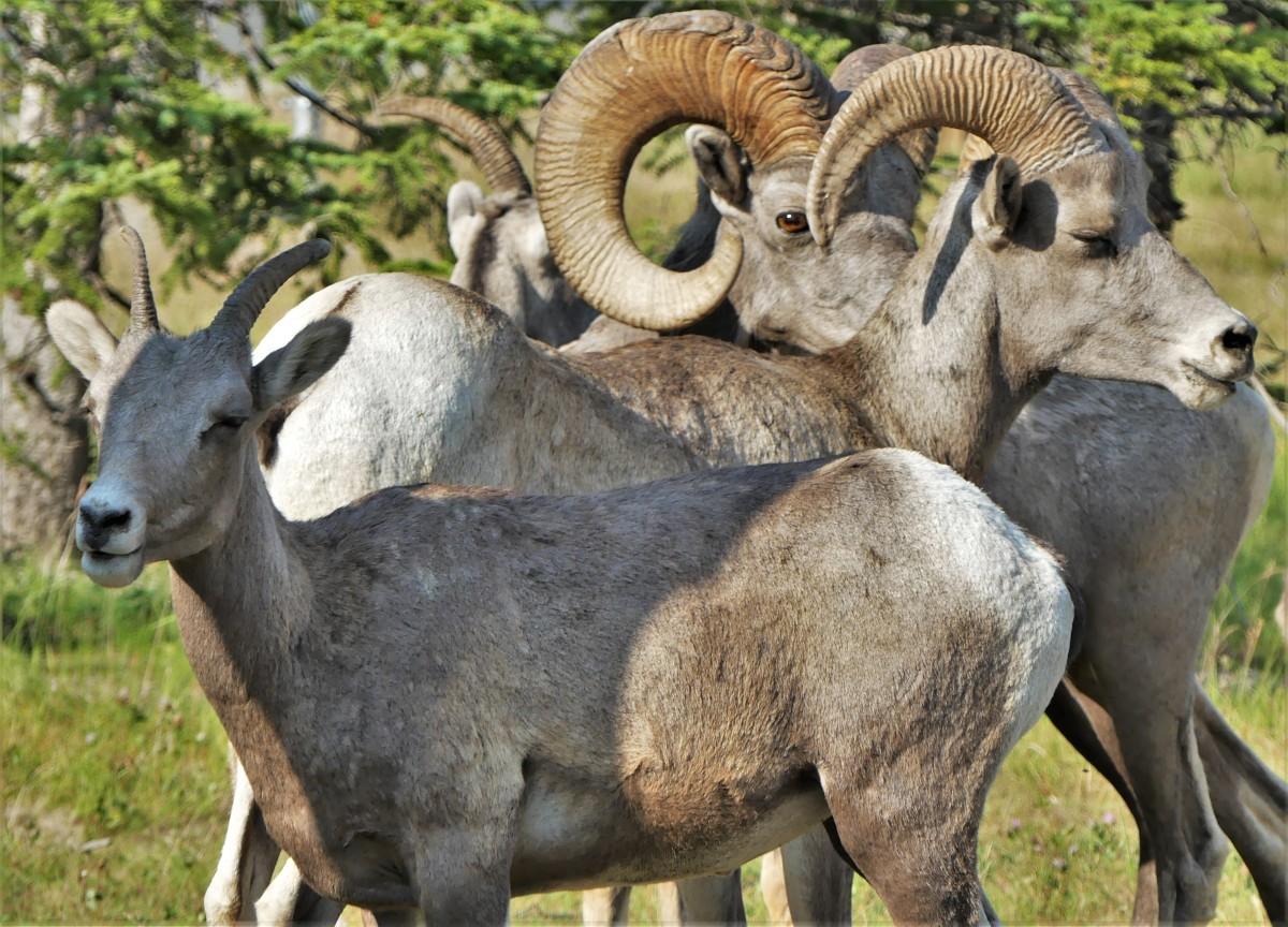 bighorn flock.jpg