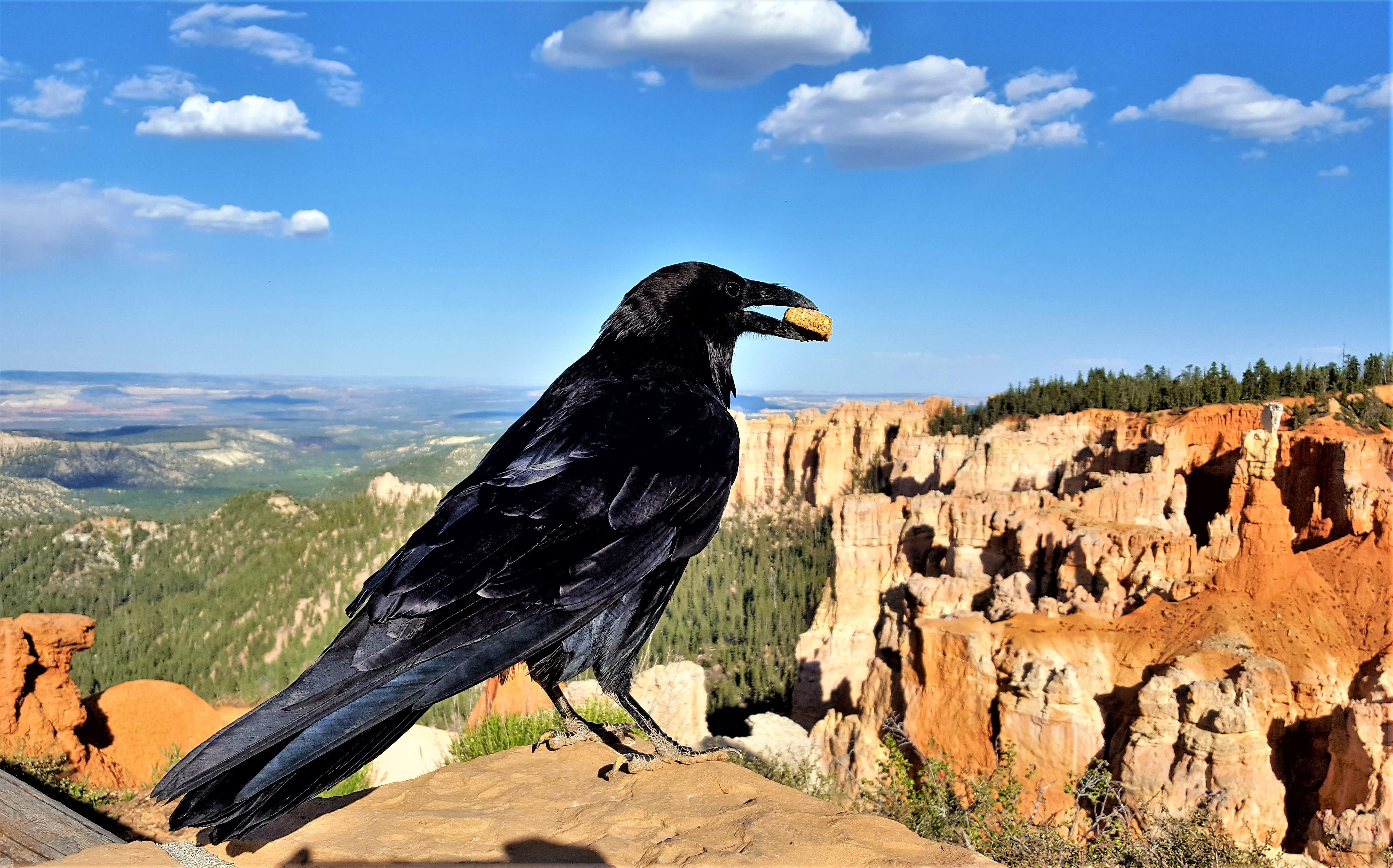Bryce Canyon raven.jpg