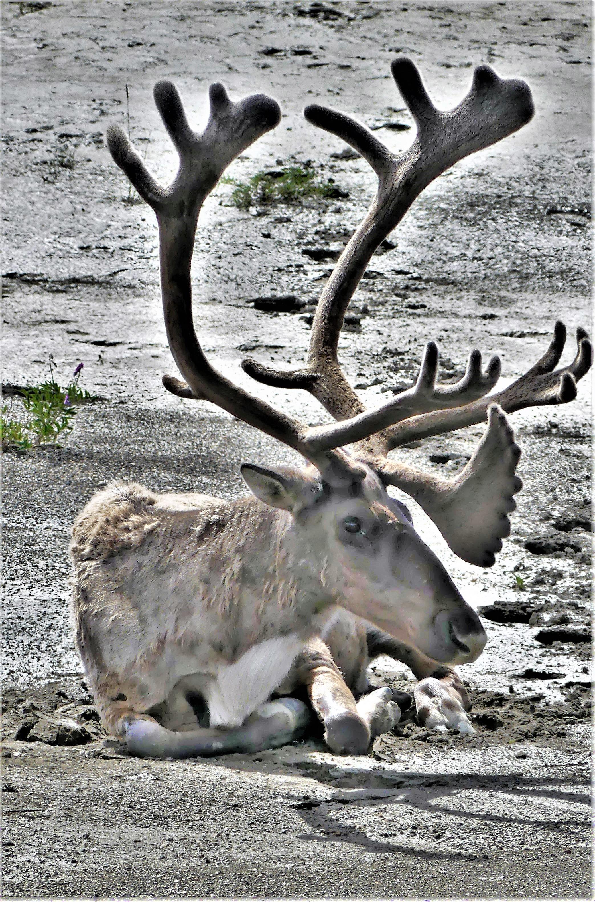 cariboo (2)