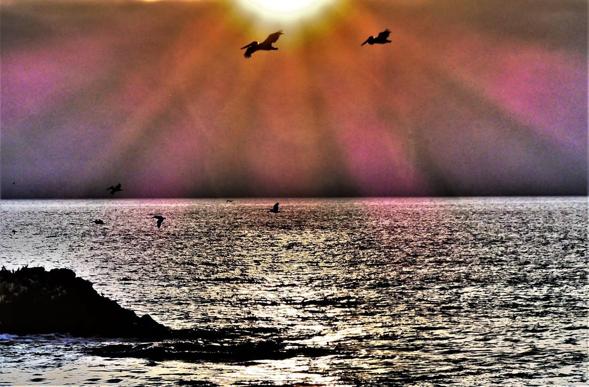Carmenl pelicans
