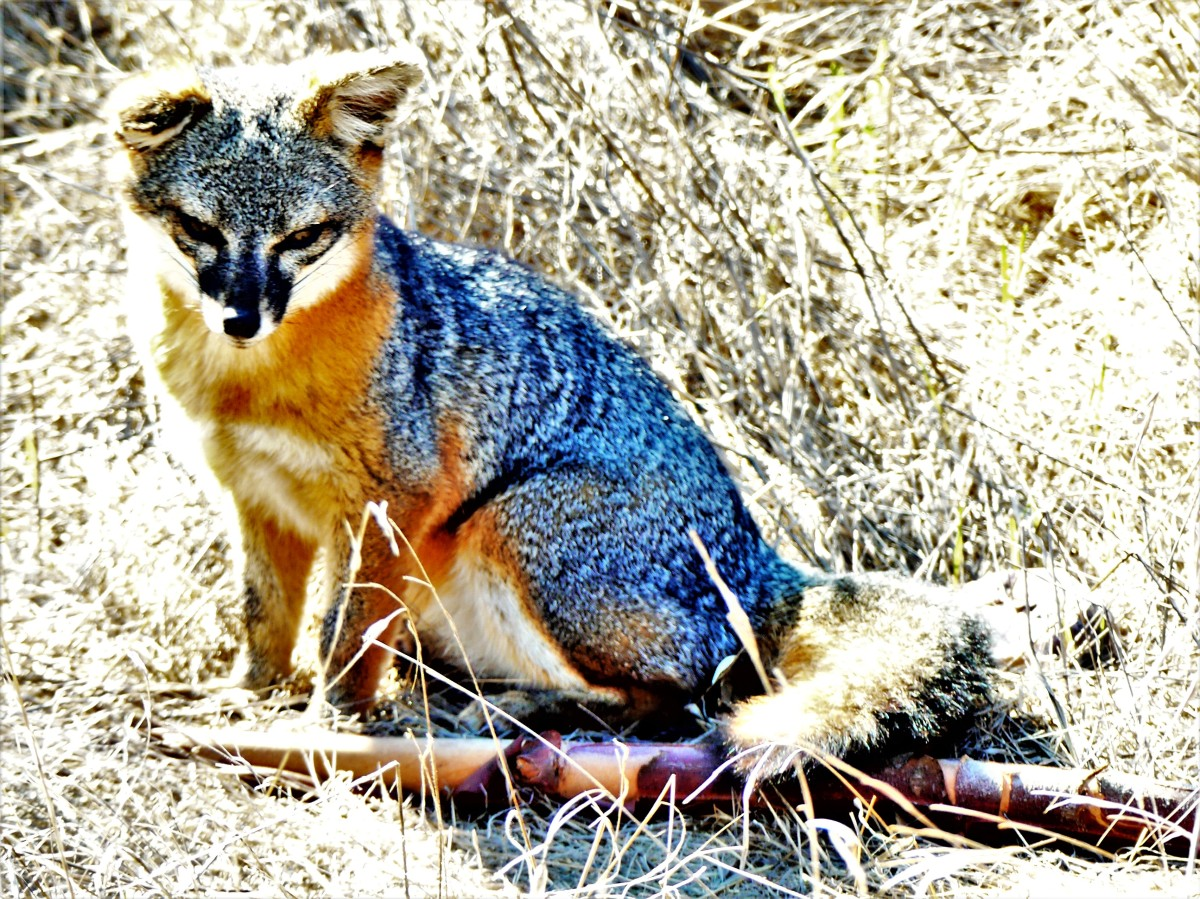 Channel Islands blue fox