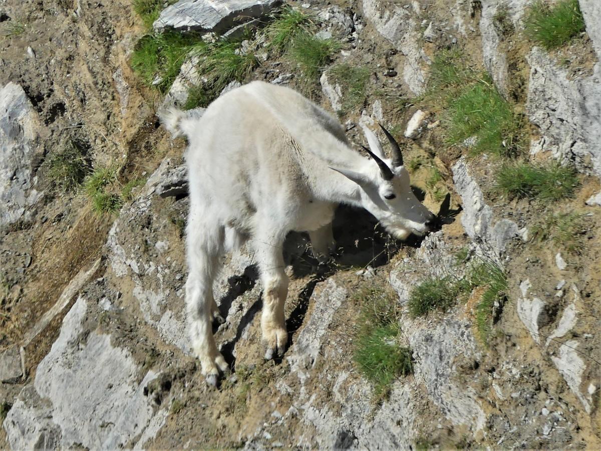 Columbia Icefields mountain goat