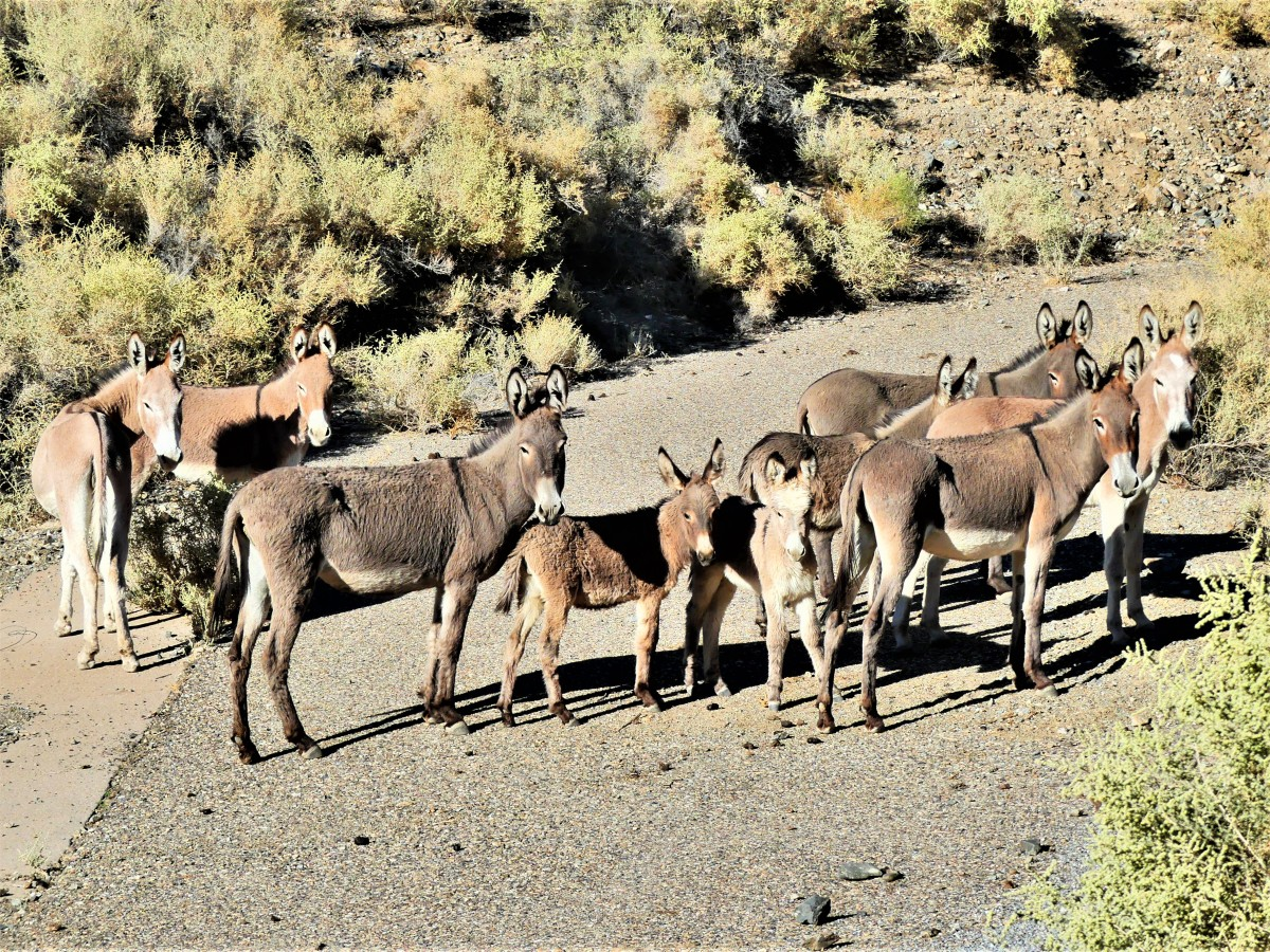 Death Valley mules