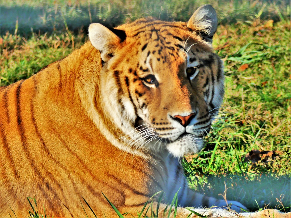 Eureka Springs tiger sanctuary