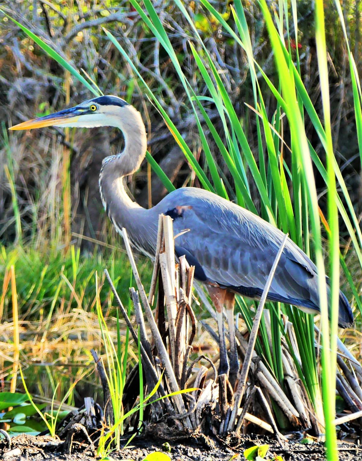 Everglades great blue heron