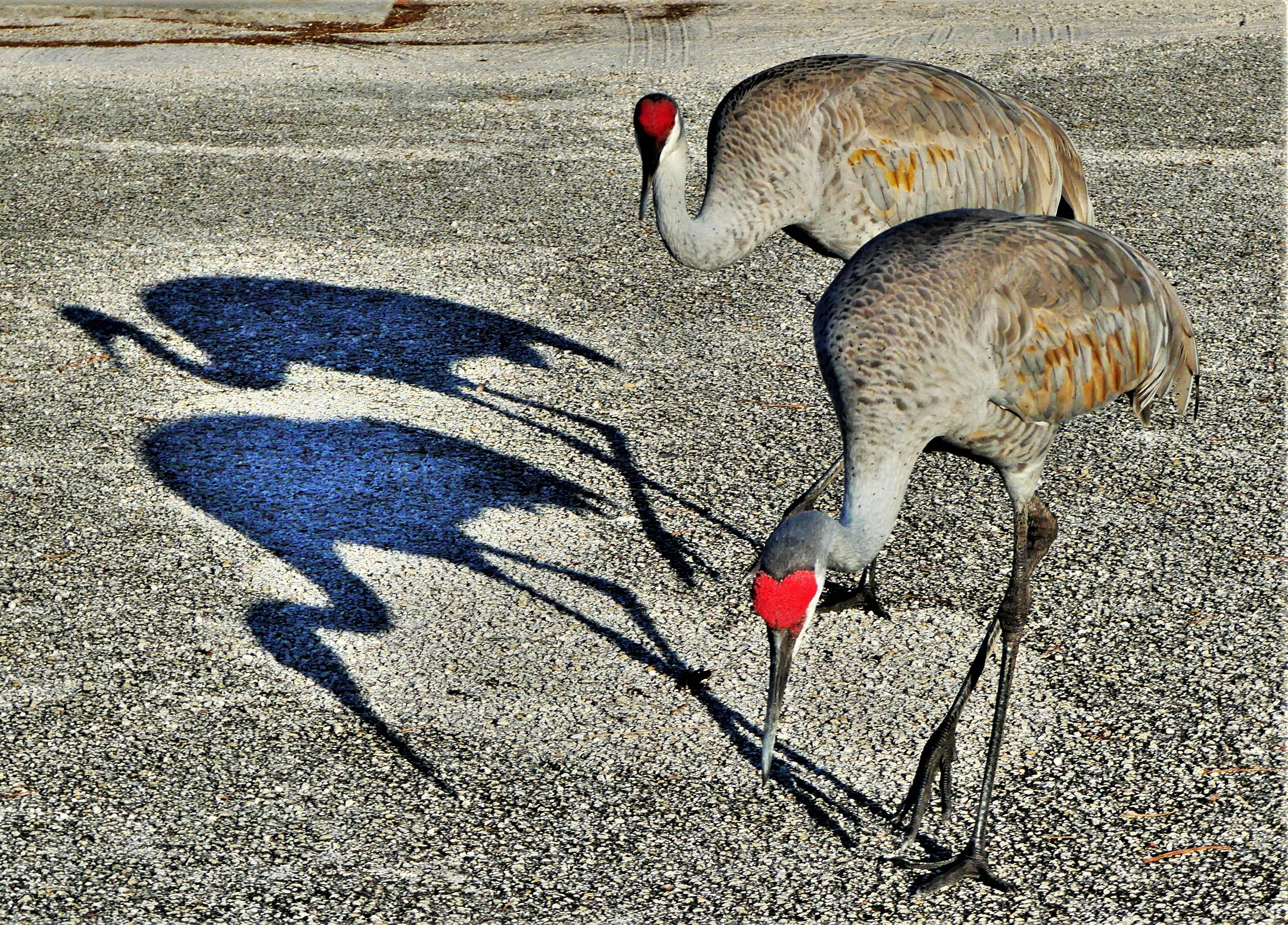 Everglades sand cranes1