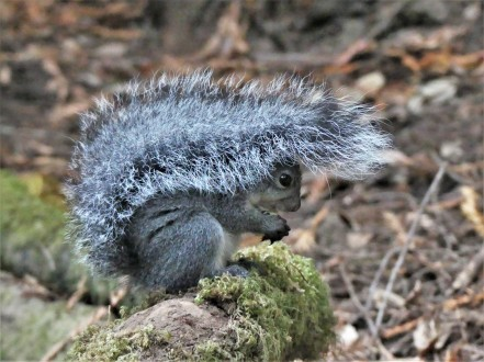 John Muir Woods grey squirrel