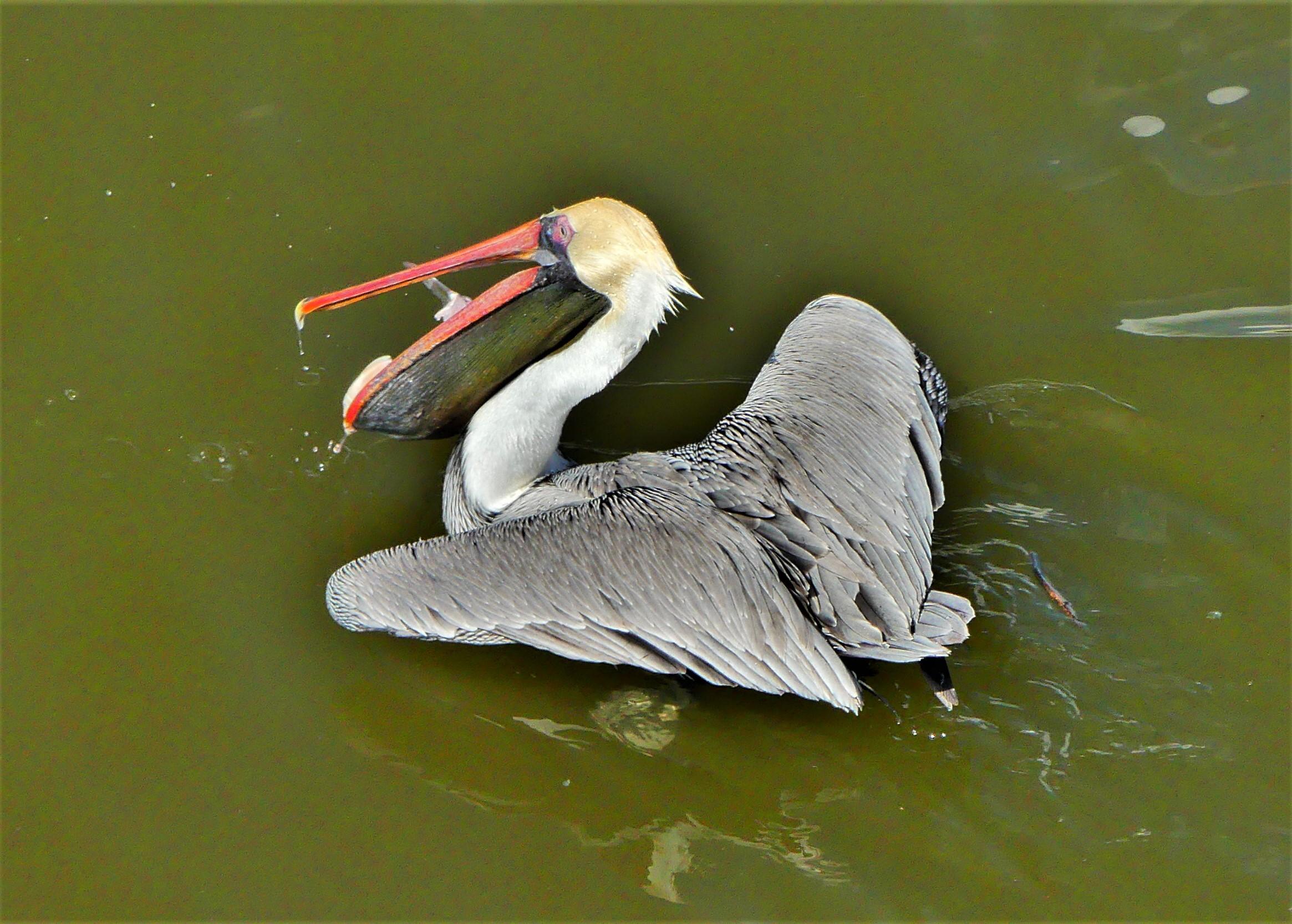 Naples pelican.jpg