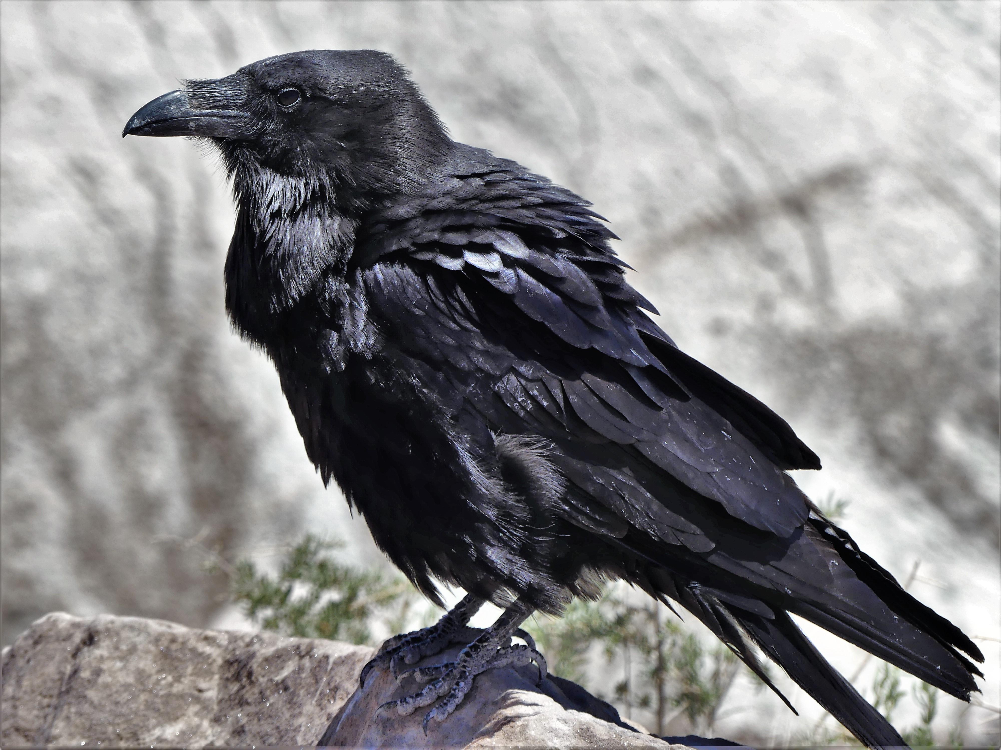 Painted Desert raven