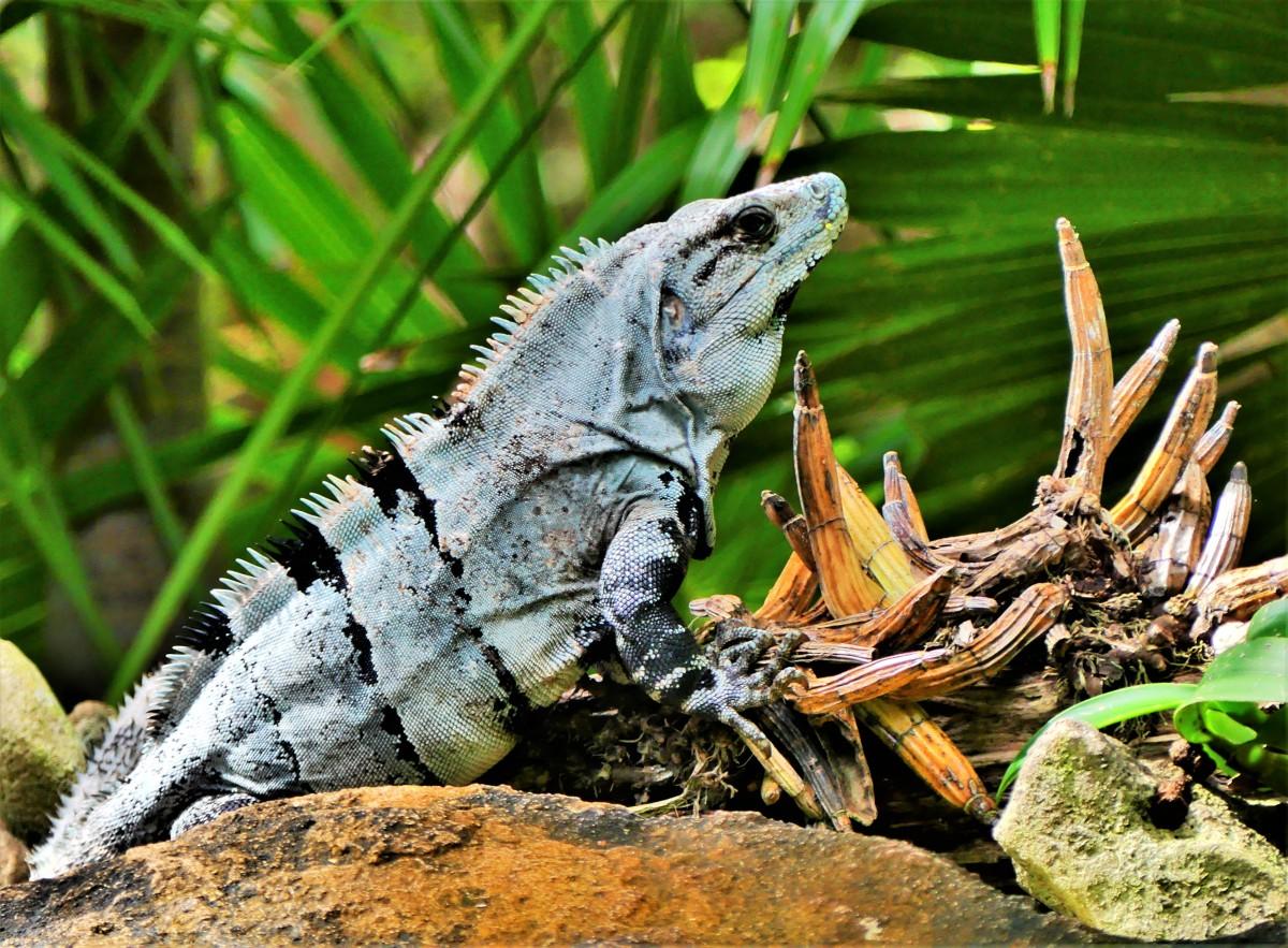 Playa del Camen iguana