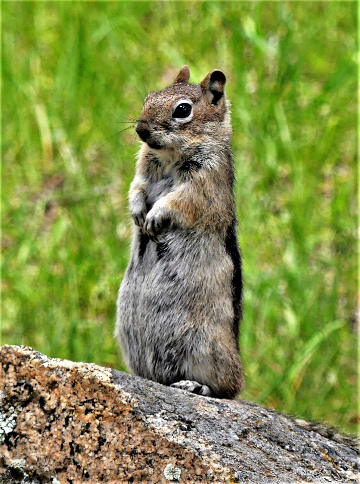 RM Wyoming ground squirrel
