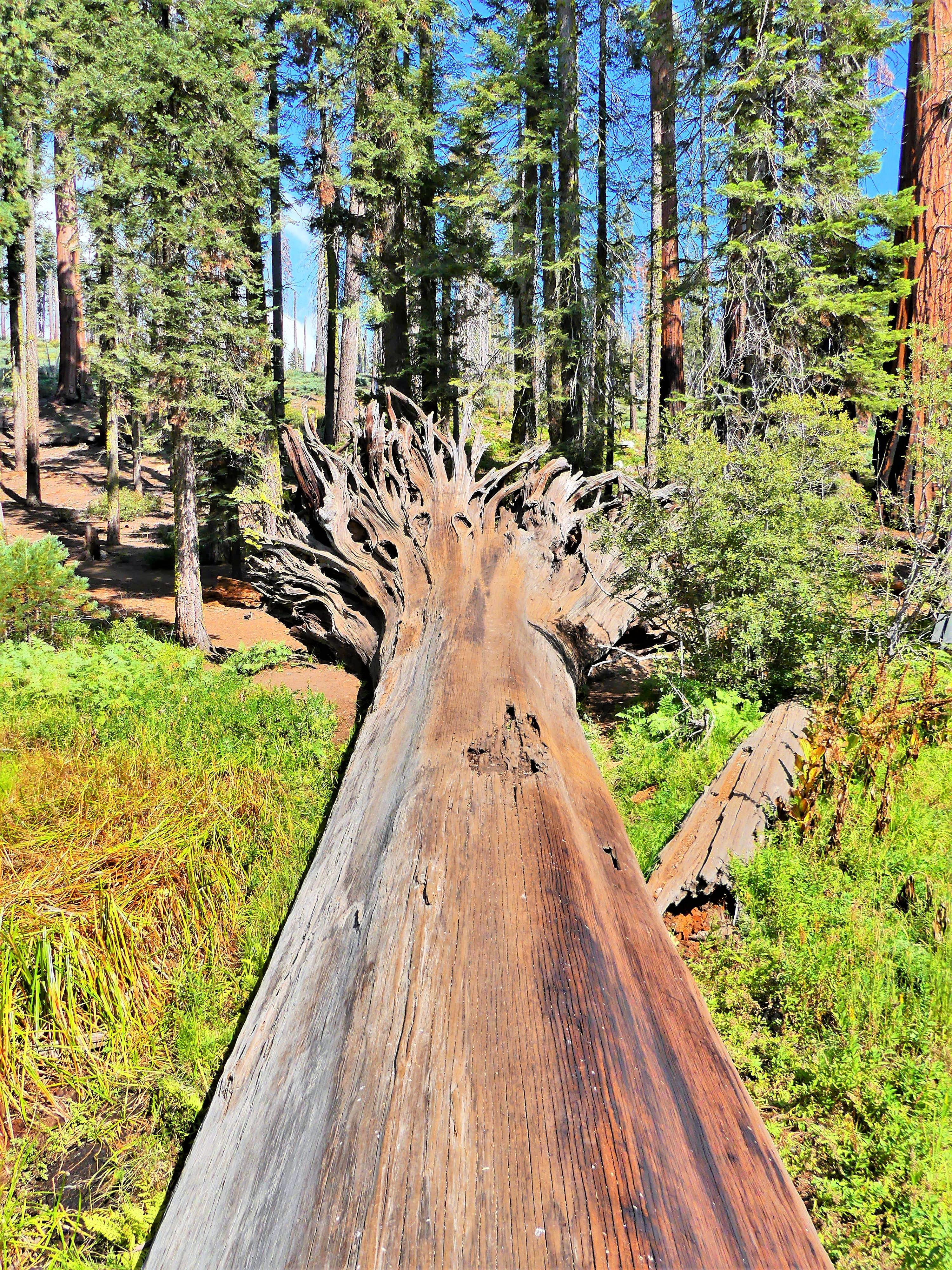 Sequoia Cedar Grove trail