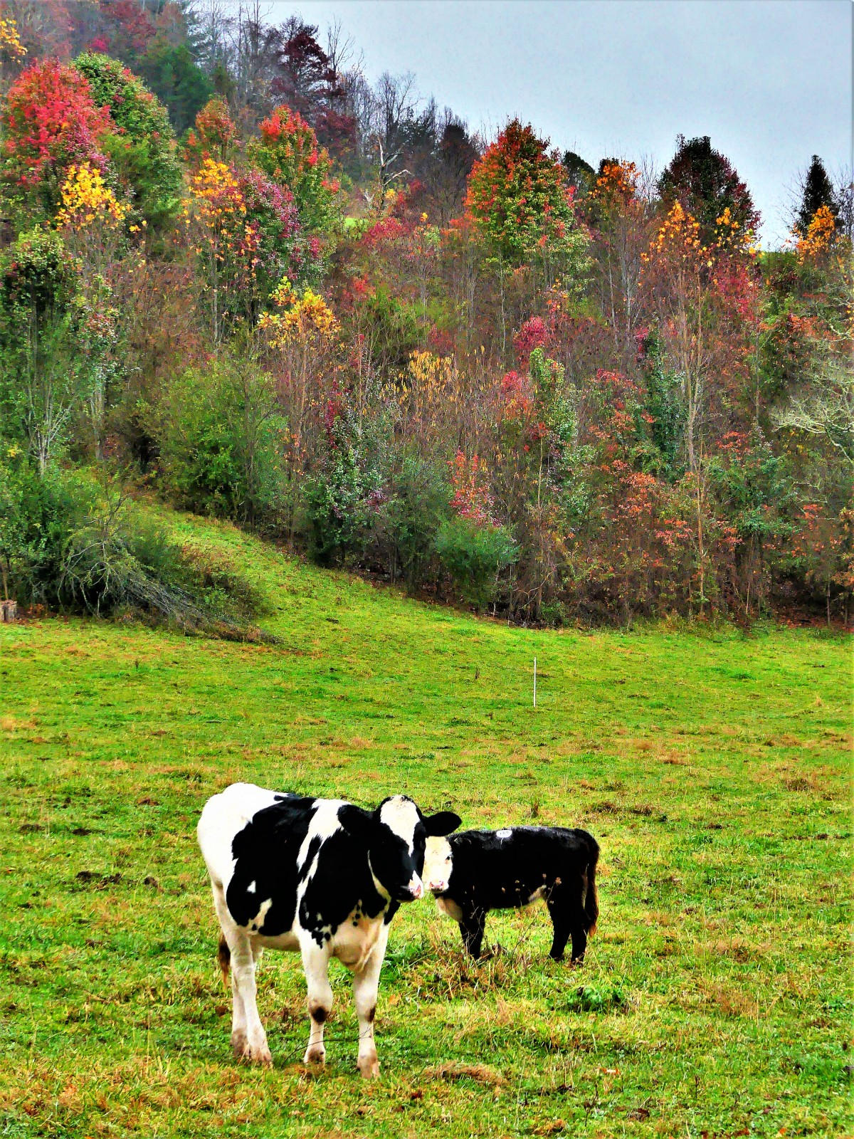 Smoky Mountain cows