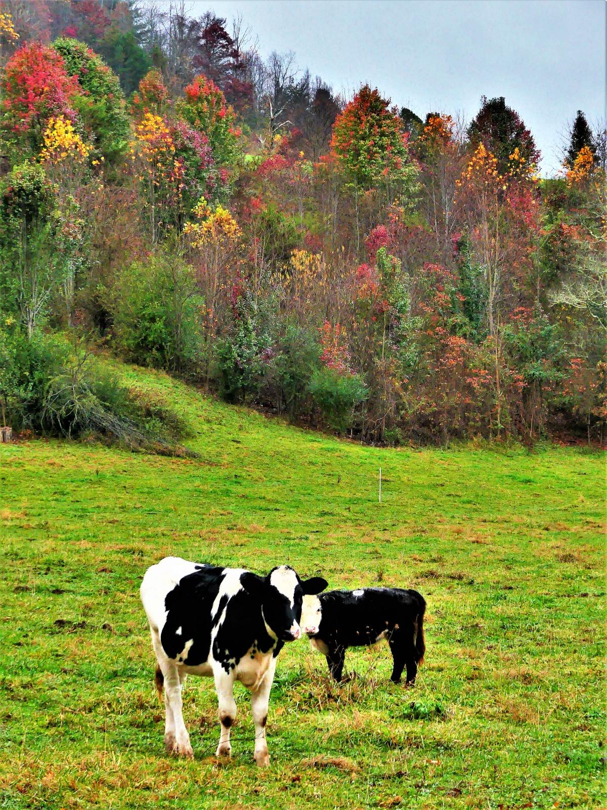 Smoky Mountain cows