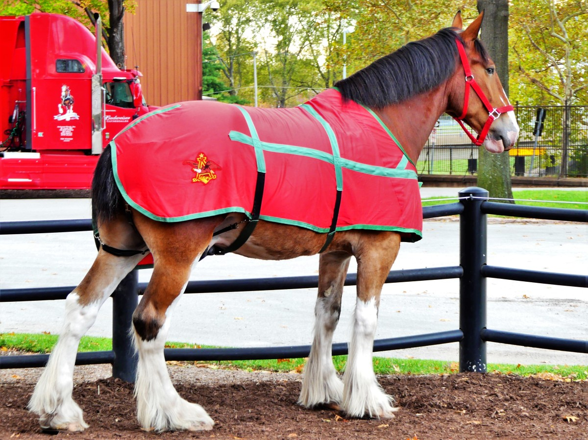 St. Louis Clydesdale