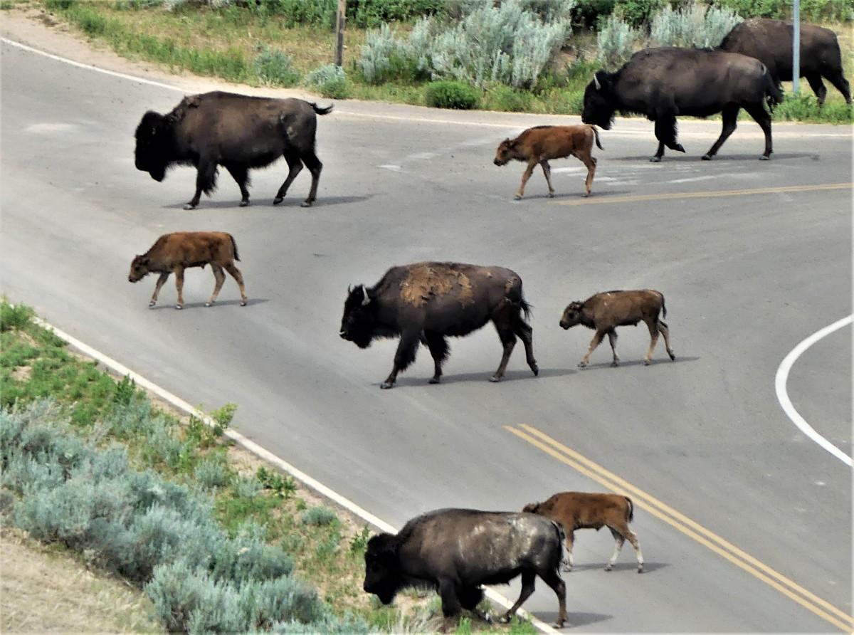 Teddy Roosevelt buffalo road