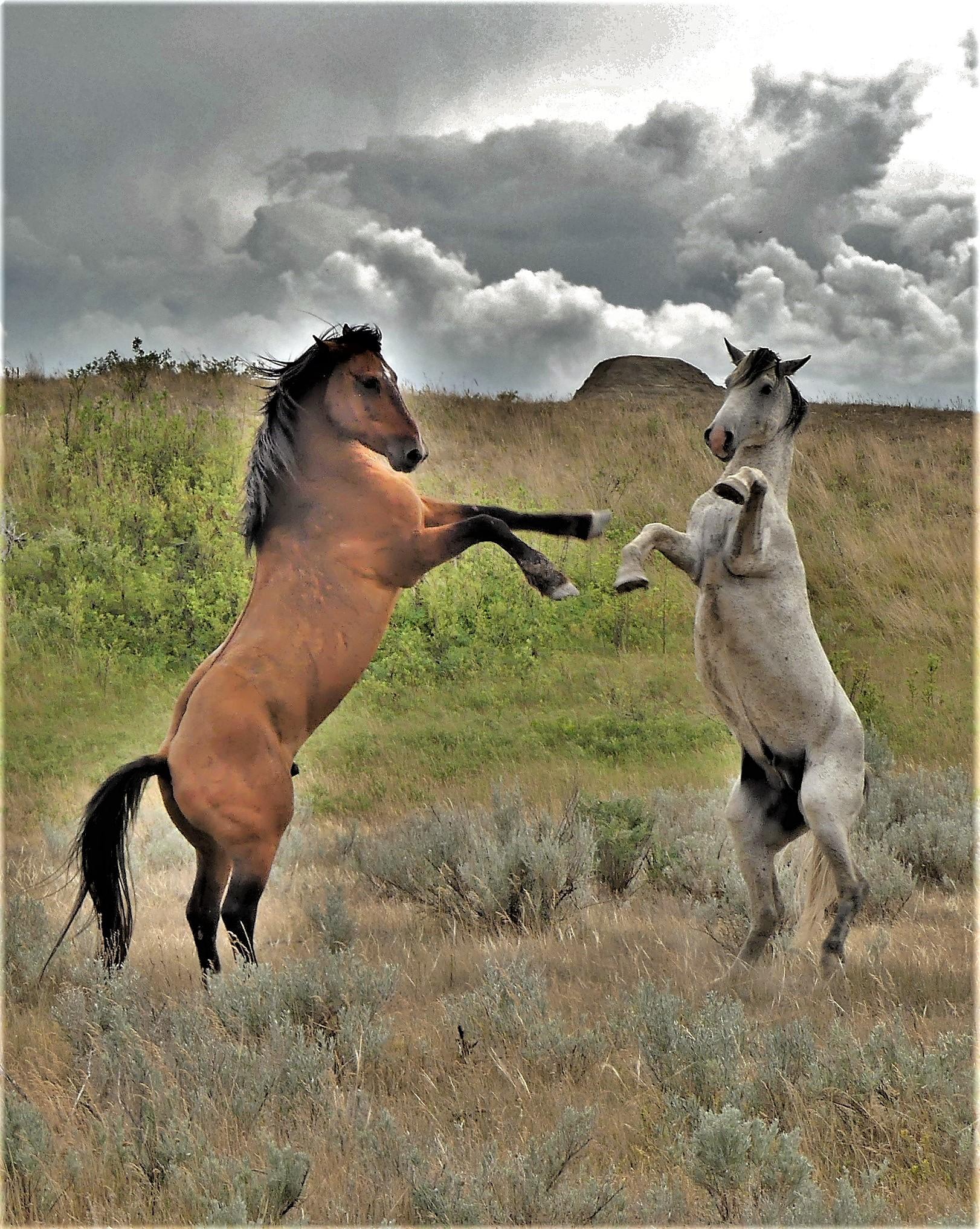 Teddy Roosevelt wild horses (2)