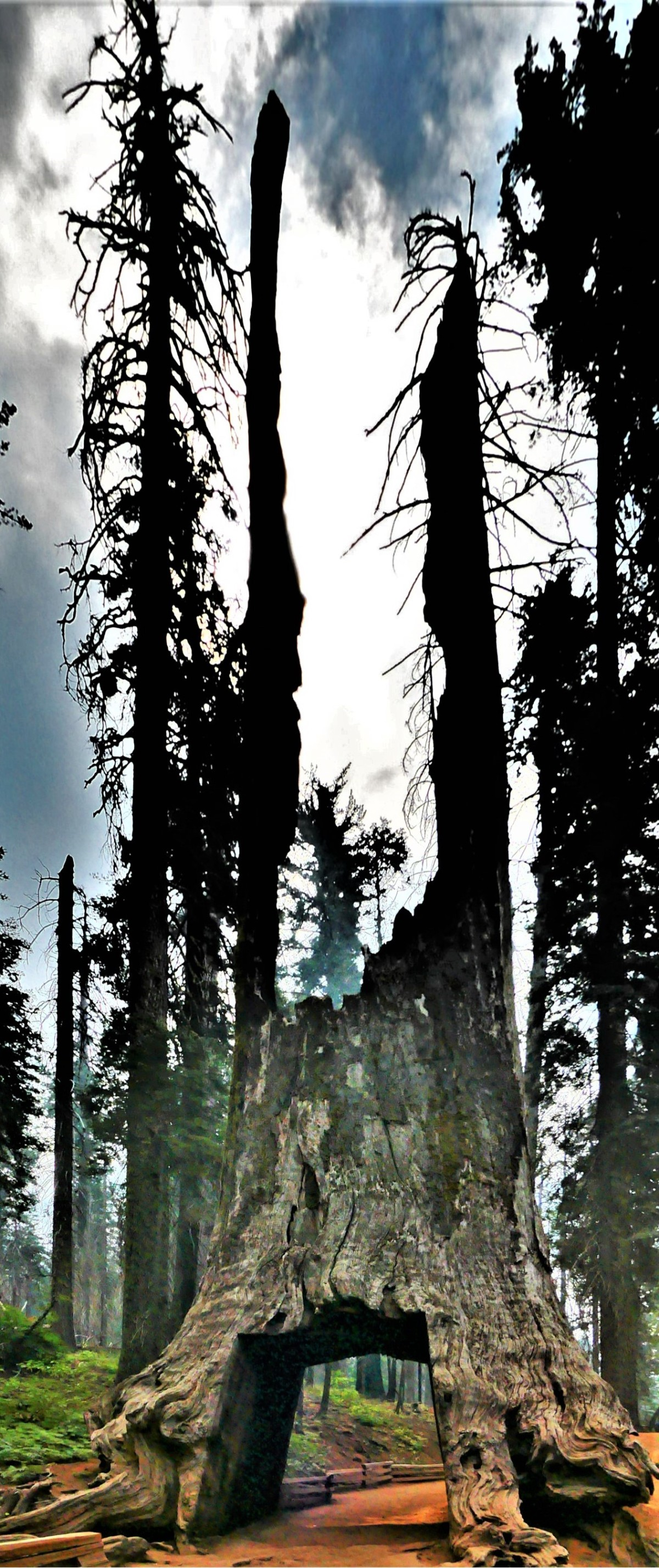 Yosemite Tuolumne Grove Nature Ttrail