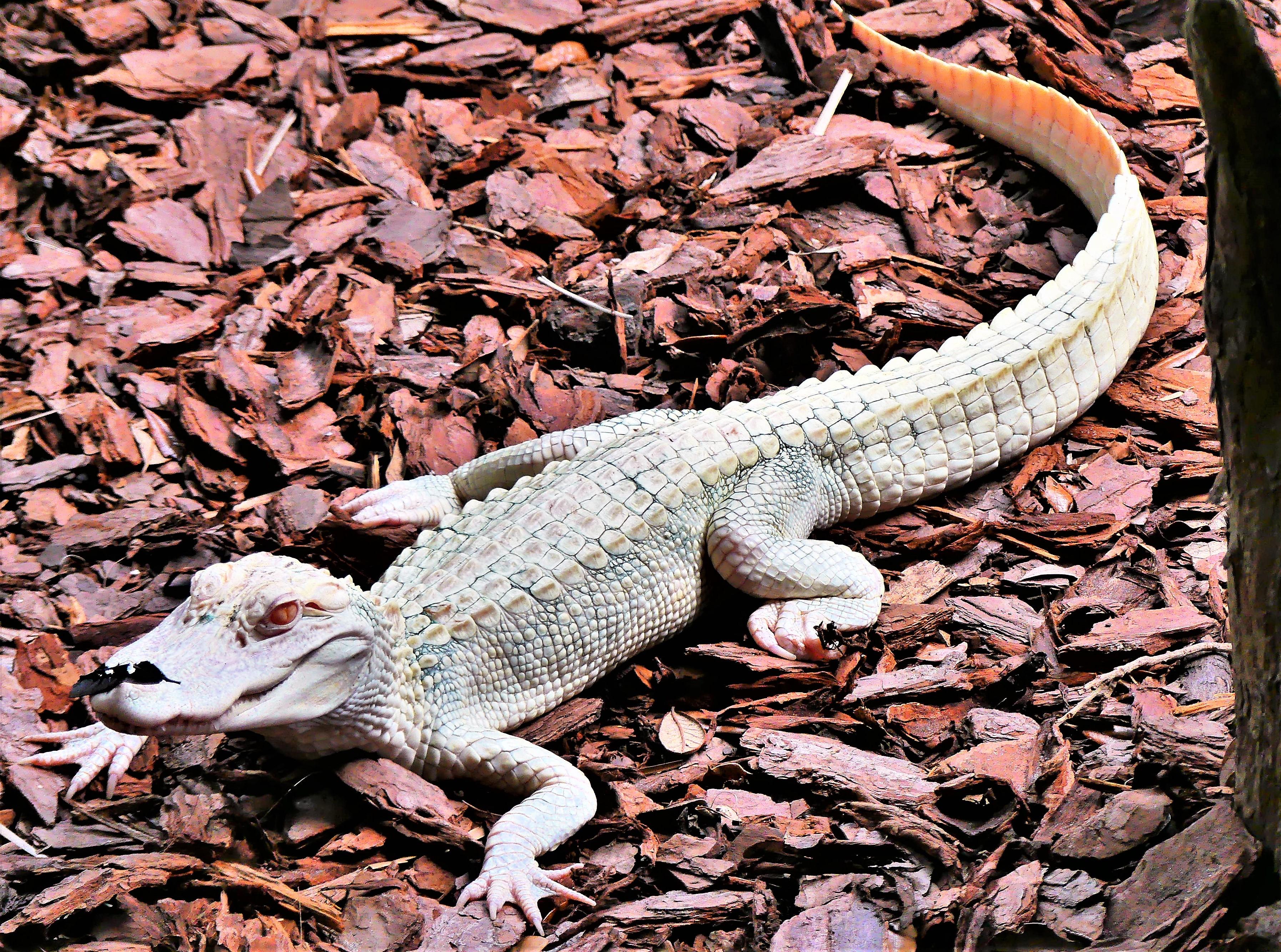 albino alligator.jpg
